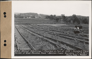 Black walnut seedlings, planted fall 1938, Randall Field, corner of Blue Meadow Road, Belchertown Nursery, Belchertown, Mass., July 13, 1939