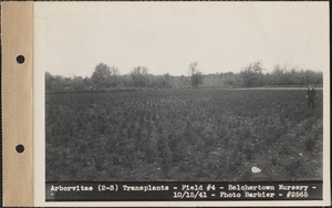 Arborvitae (2-3) transplants, field #4, Belchertown Nursery, Belchertown, Mass., Oct. 15, 1941