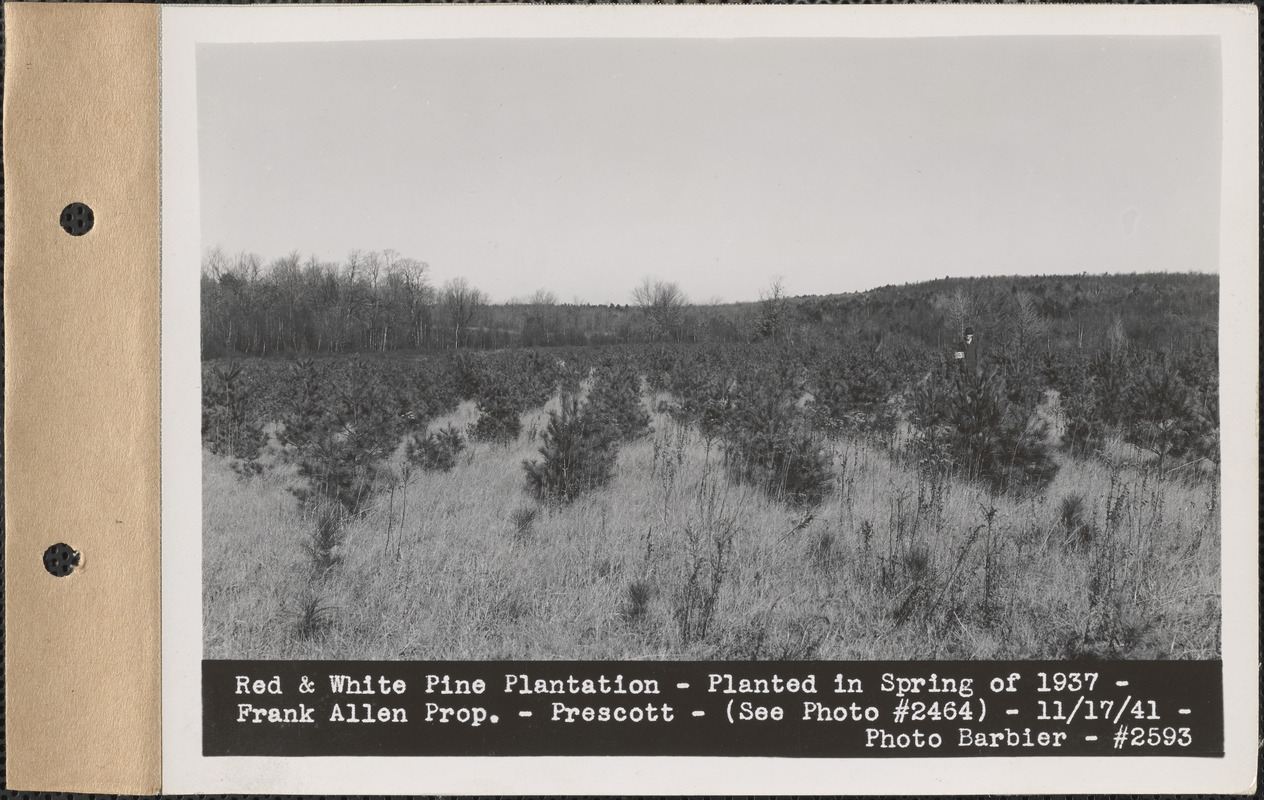 Red and white pine plantation, planted in spring of 1937 ...