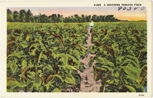 D-885. A Southern tobacco field