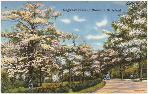 Dogwood trees in bloom in Dixieland