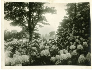 Rhododendrons at Nathaniel Thayer Estate