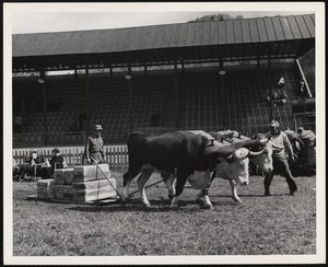 Earl Purrington, Shelburne, Vt. ox pulling Turnbridge, Vt. - Worlds Fair