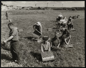 Picking cranberries - Mass Hanson, 1940s