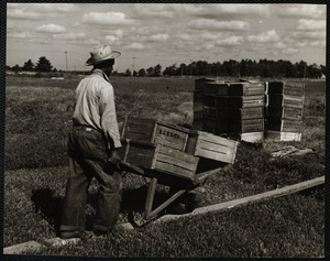 Cranberry picking - Cape Cod Hanson, 1940s