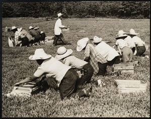 Cranberry picking, Cape Cod Hanson, MA 1940s