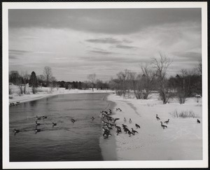 Concord, Mass Canada geese