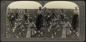 A typical Texas cotton field at picking time