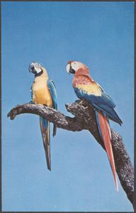 Colorful macaws are seen at many attractions throughout Florida