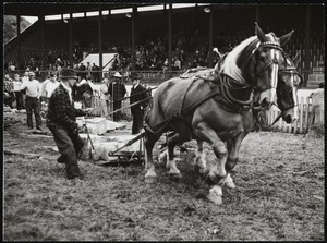 Bill Rogers of Turnbridge in horse pulling contest - Turnbridge Fair