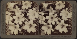 """""""Consider the lilies how they grow - Solomon in all his glory was not arrayed like one of these"""""""