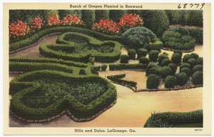 Bunch of grapes planted in boxwood, Hills and Dales, LaGrange, Ga.