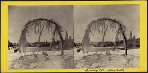 The bowing elm above the falls, Canada side