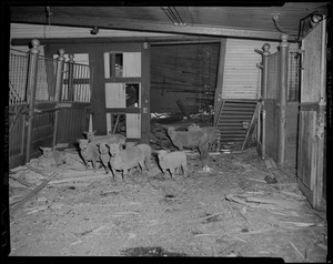 Sheep among debris in barn