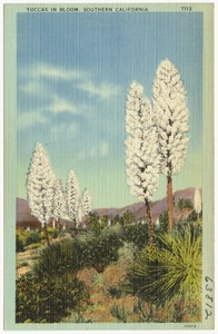 Yuccas in Bloom, Southern California