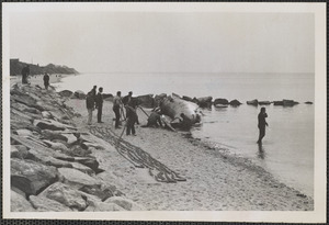 Beached whale on Corporation Beach, Dennis, MA
