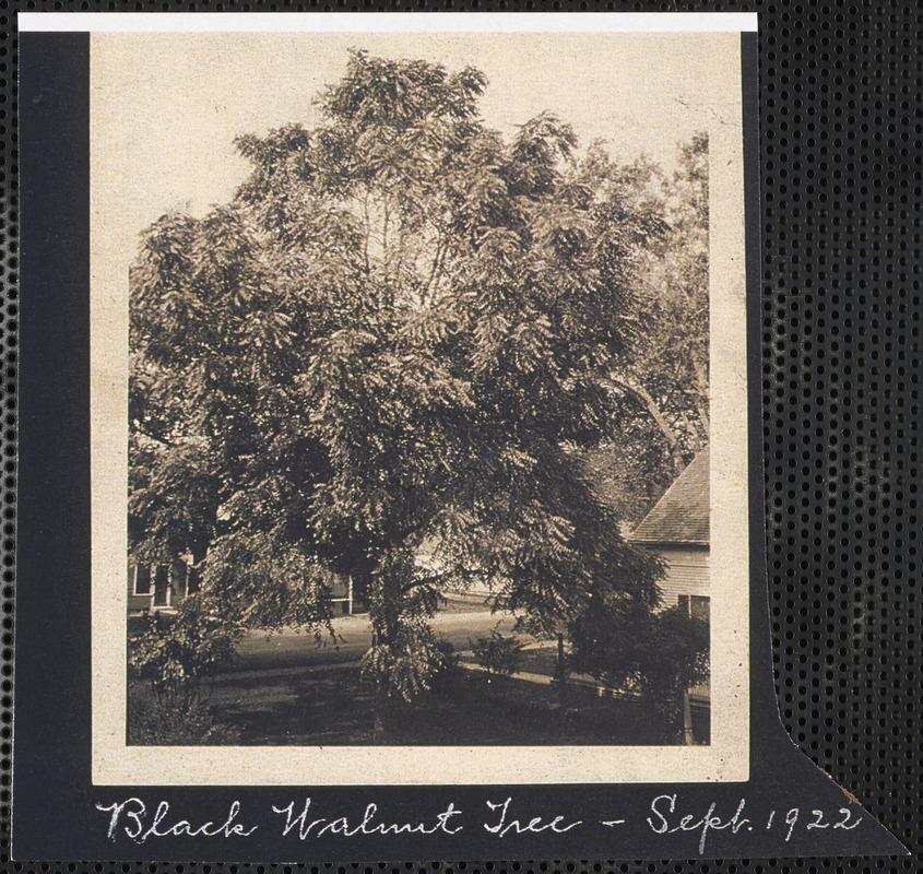 80e4196ba1c458 Black walnut tree on Stephen Wing Homestead, South Yarmouth, Mass ...