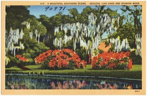 415. A beautiful Southern scene. Azaleas, Live Oaks and Spanish Moss.