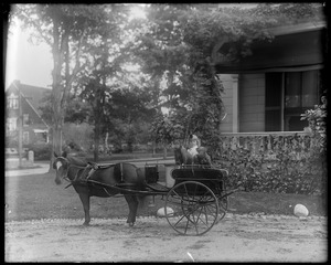 Grace Helen Talbot in pony cart with dog in seat, front of house
