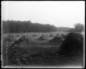 F. S. Clark's hay in stacks