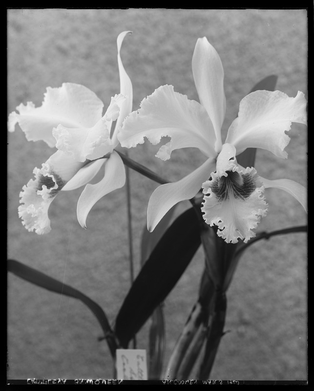 Cattleya Snow Queen
